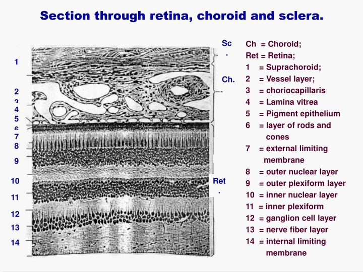 Section through retina, choroid and sclera.