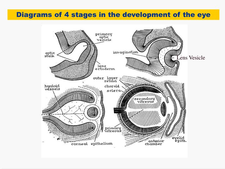 Diagrams of 4 stages in the development of the eye