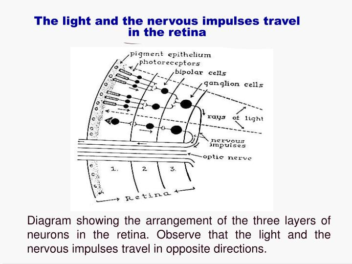 The light and the nervous impulses travel in the retina