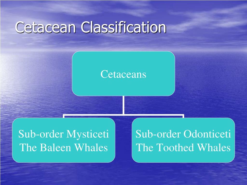 Cetacean Classification