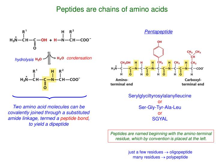 Peptides are chains of amino acids