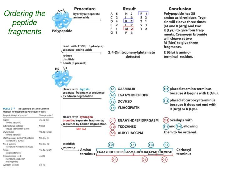 Ordering the peptide fragments