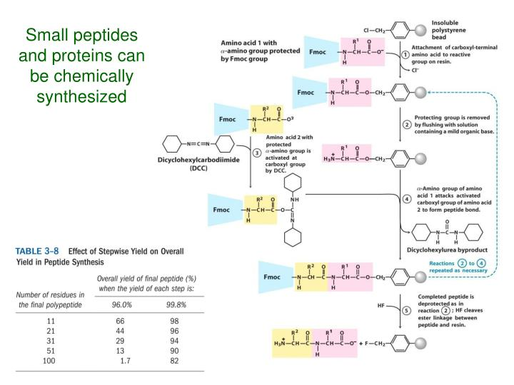 Small peptides and proteins can be chemically synthesized