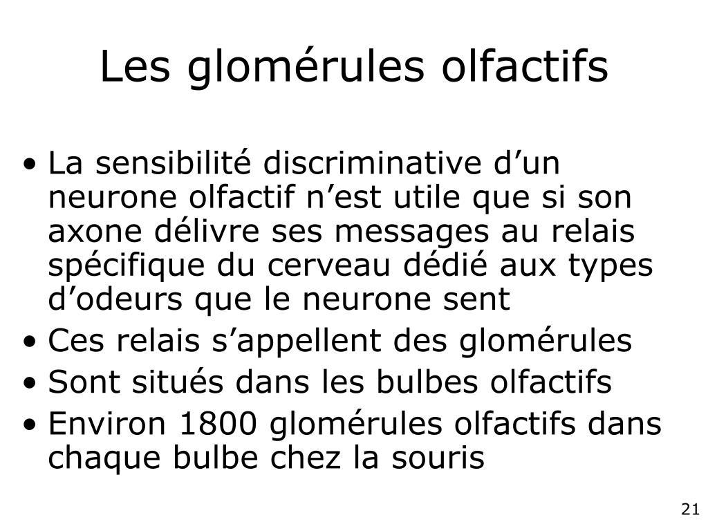 Les glomérules olfactifs