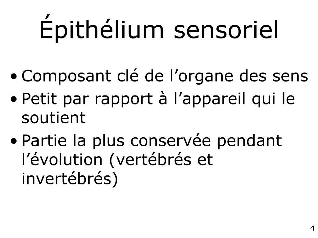 Épithélium sensoriel