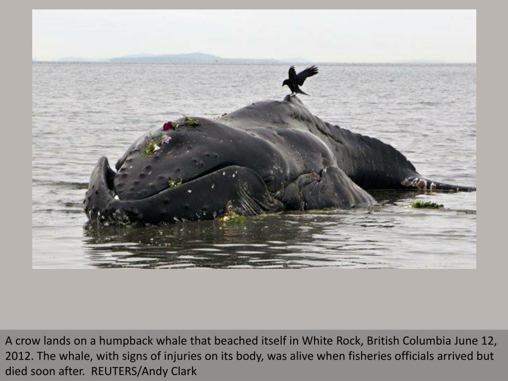 A crow lands on a humpback whale that beached itself in White Rock, British Columbia June 12, 2012. The whale, with signs of injuries on its body, was alive when fisheries officials arrived but died soon after.  REUTERS/Andy Clark