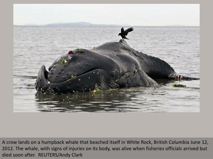 A crow lands on a humpback whale that beached itself in White Rock, British Columbia June 12, 2012. ...