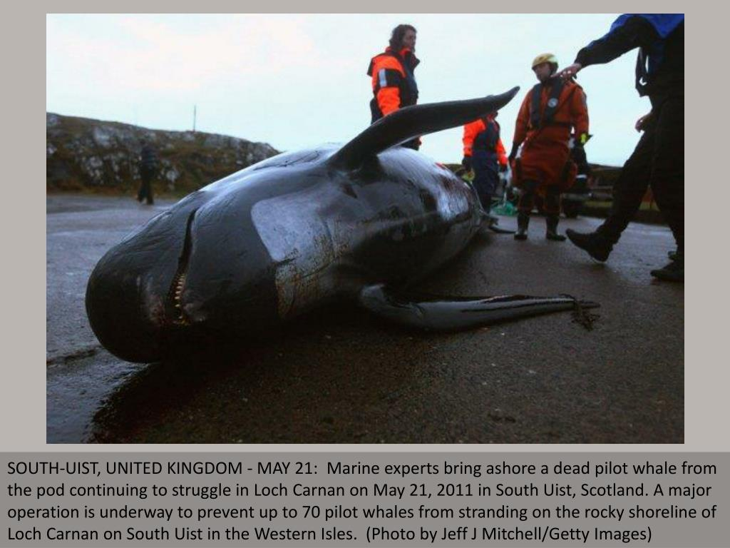SOUTH-UIST, UNITED KINGDOM - MAY 21:  Marine experts bring ashore a dead pilot whale from the pod continuing to struggle in Loch Carnan on May 21, 2011 in South Uist, Scotland. A major operation is underway to prevent up to 70 pilot whales from stranding on the rocky shoreline of Loch Carnan on South Uist in the Western Isles.  (Photo by Jeff J Mitchell/Getty Images)