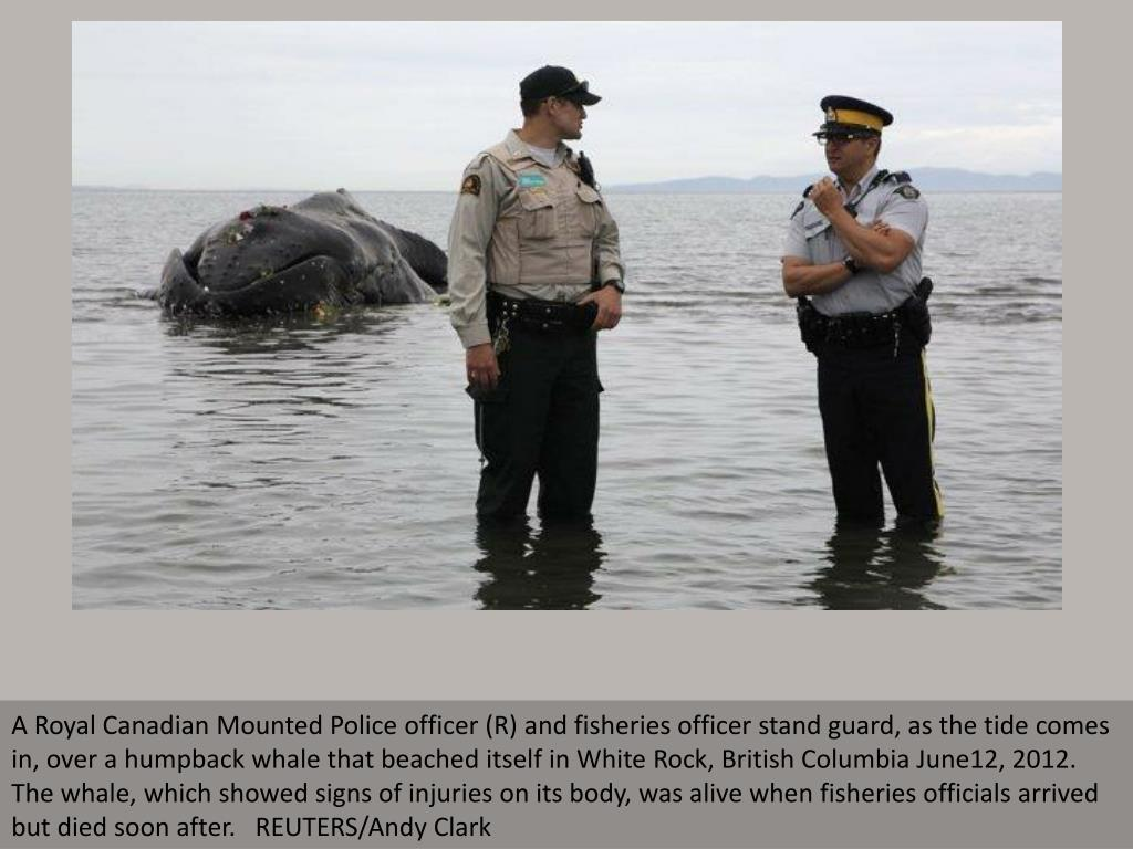 A Royal Canadian Mounted Police officer (R) and fisheries officer stand guard, as the tide comes in, over a humpback whale that beached itself in White Rock, British Columbia June12, 2012. The whale, which showed signs of injuries on its body, was alive when fisheries officials arrived but died soon after.   REUTERS/Andy Clark