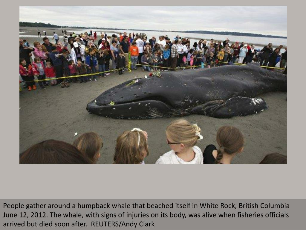 People gather around a humpback whale that beached itself in White Rock, British Columbia June 12, 2012. The whale, with signs of injuries on its body, was alive when fisheries officials arrived but died soon after.  REUTERS/Andy Clark