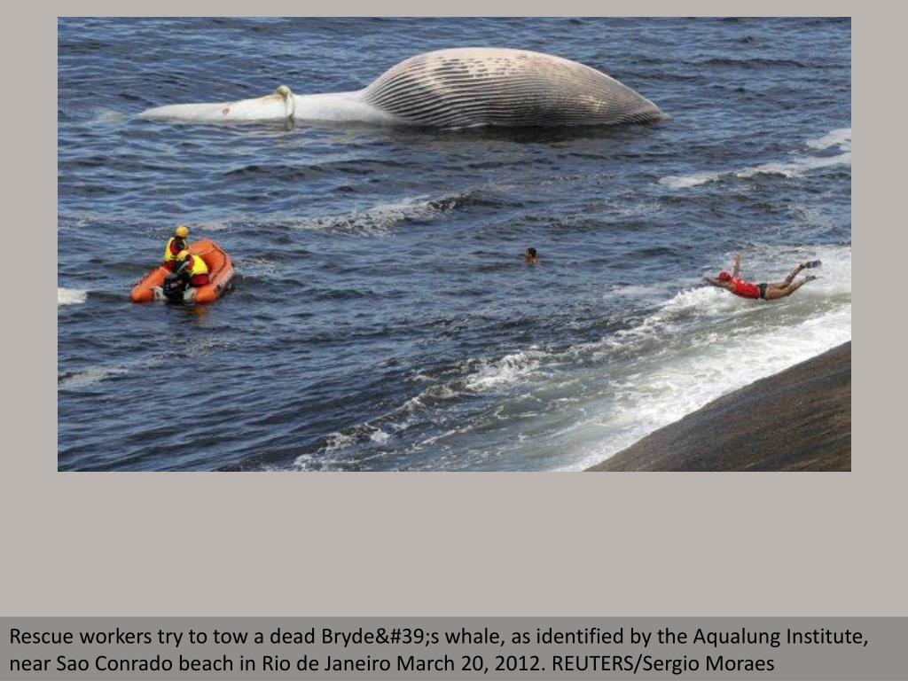 Rescue workers try to tow a dead Bryde's whale, as identified by the Aqualung Institute, near Sao Conrado beach in Rio de Janeiro March 20, 2012. REUTERS/Sergio Moraes