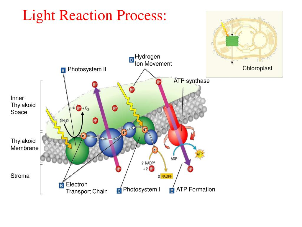 Light Reaction Process: