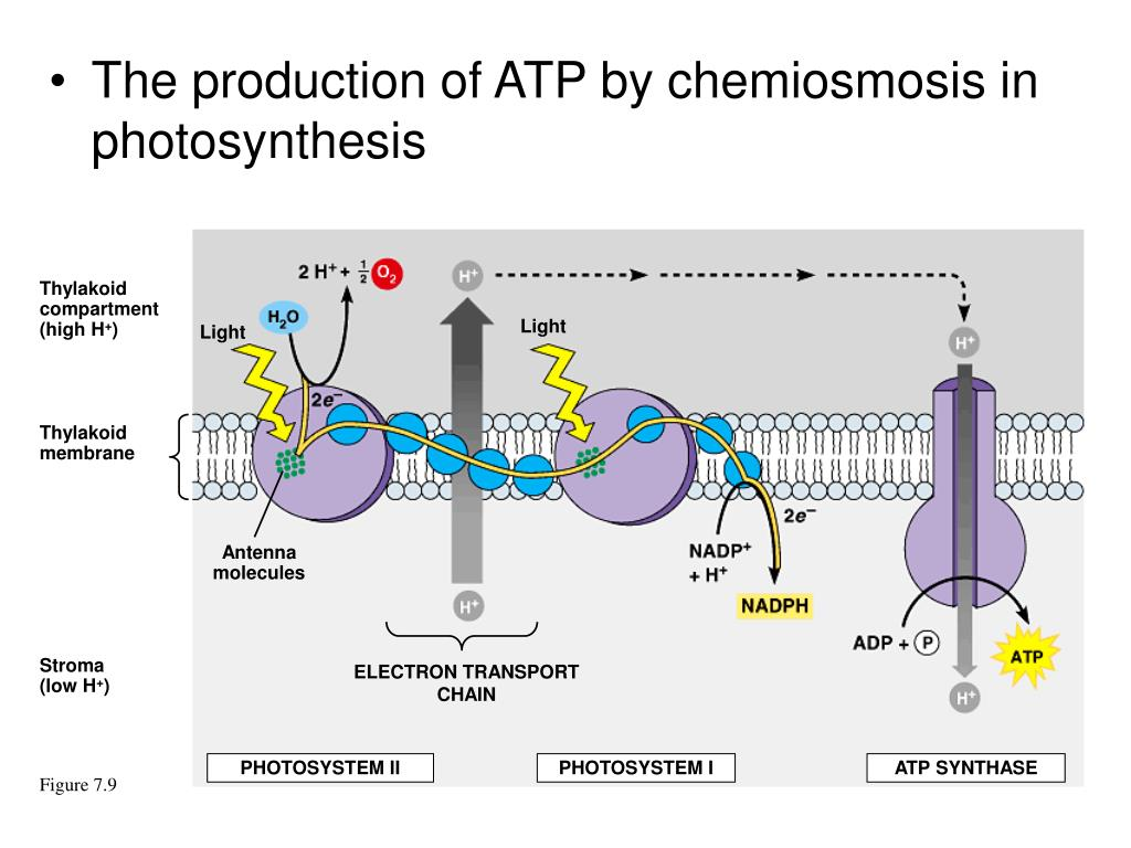 The production of ATP by chemiosmosis in photosynthesis