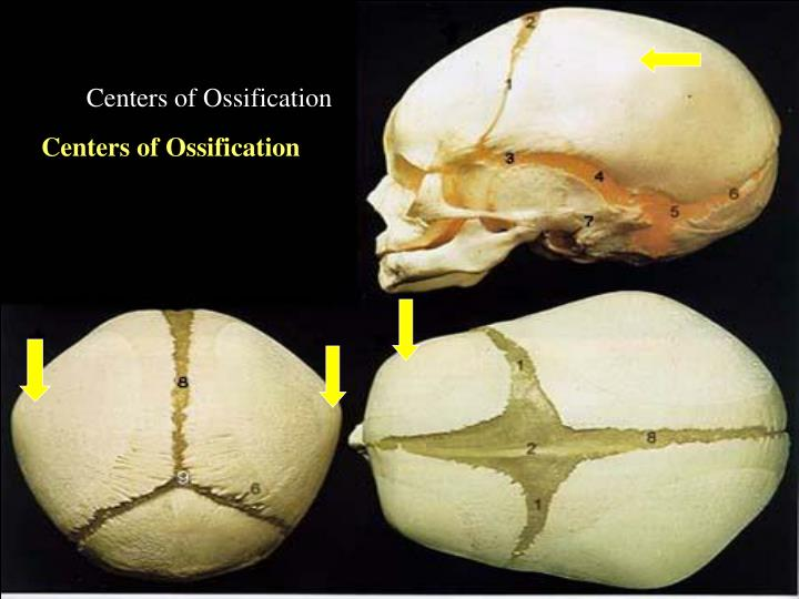 Centers of Ossification