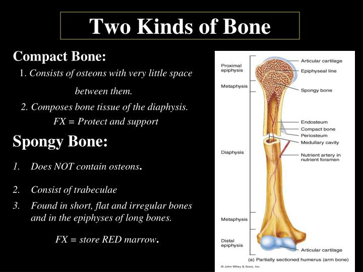 Two Kinds of Bone