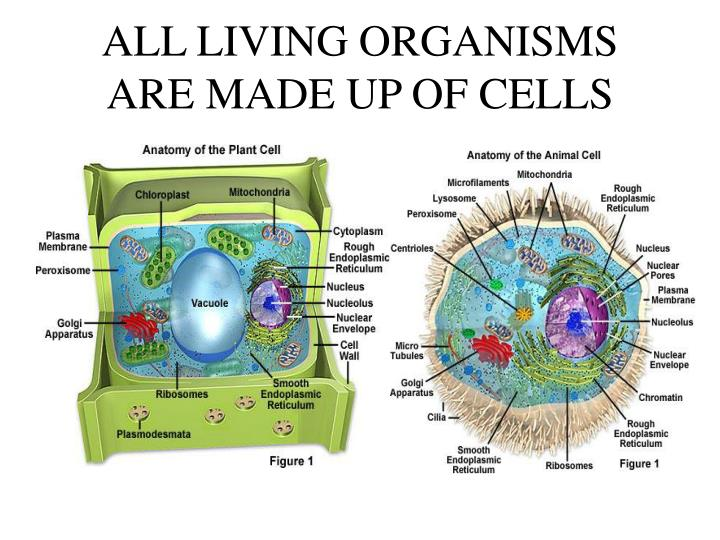 All living organisms are made up of cells l.jpg