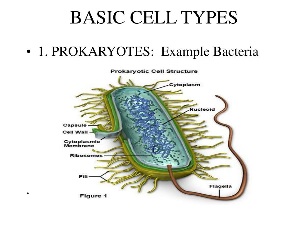 BASIC CELL TYPES