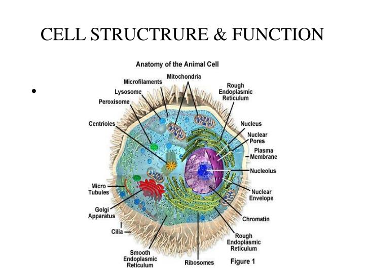 Cell structrure function