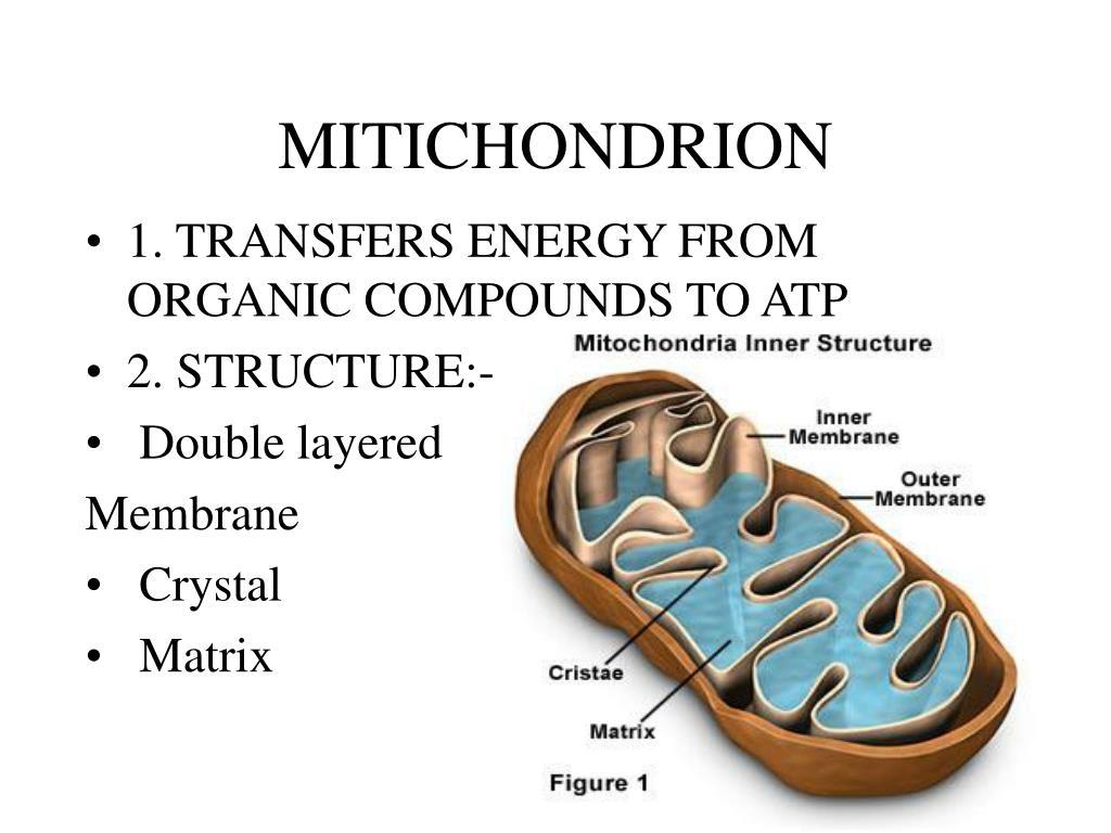 MITICHONDRION