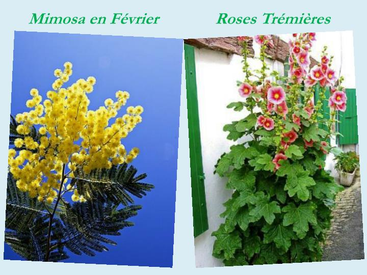 Mimosa en Février              Roses Trémières