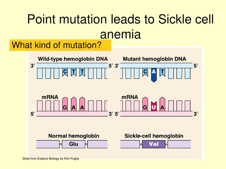 Point mutation leads to Sickle cell anemia