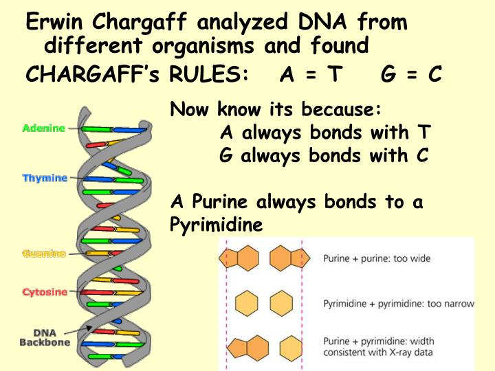 Erwin Chargaff analyzed DNA from different organisms and found