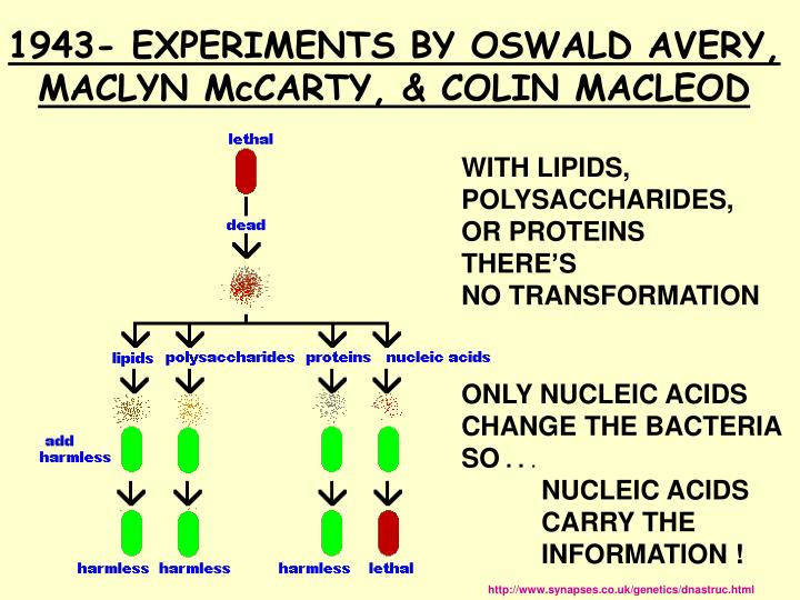 1943- EXPERIMENTS BY OSWALD AVERY, MACLYN McCARTY, & COLIN MACLEOD