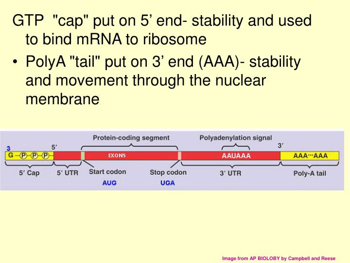 "GTP  ""cap"" put on 5' end- stability and used to bind mRNA to ribosome"