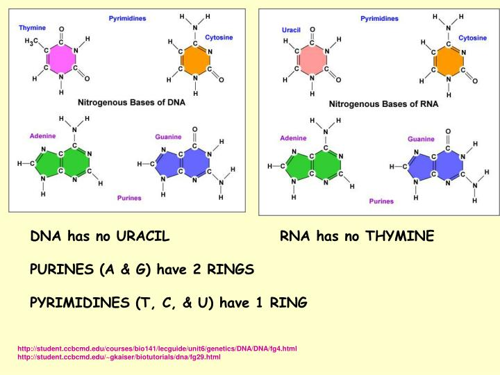 DNA has no URACILRNA has no THYMINE
