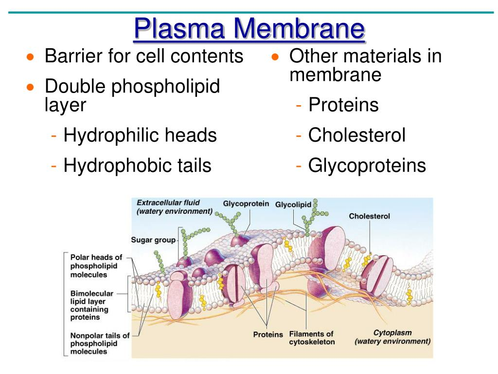 projections of the plasma membrane Microvilli are projections formed by the plasma membrane folding up on itself, giving the cell a larger surface area this means more particles can be exchanged in the same amount of time, increasing the rate of diffusion.