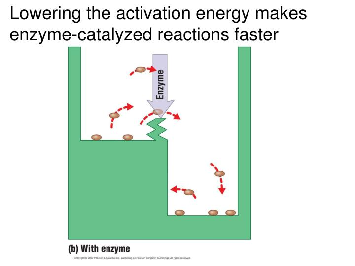 Lowering the activation energy makes enzyme-catalyzed reactions faster