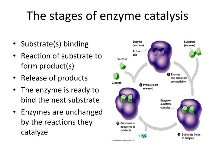 The stages of enzyme catalysis