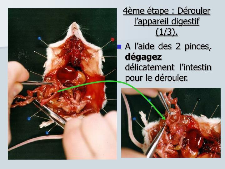 4ème étape : Dérouler l'appareil digestif (1/3).
