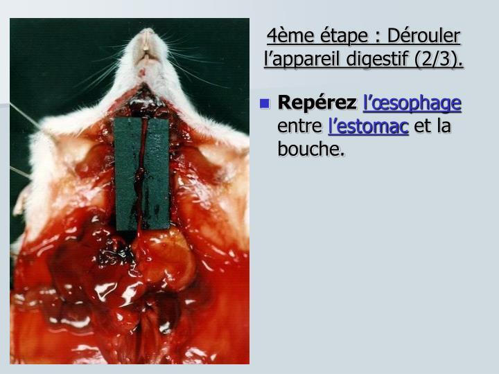 4ème étape : Dérouler l'appareil digestif (2/3).