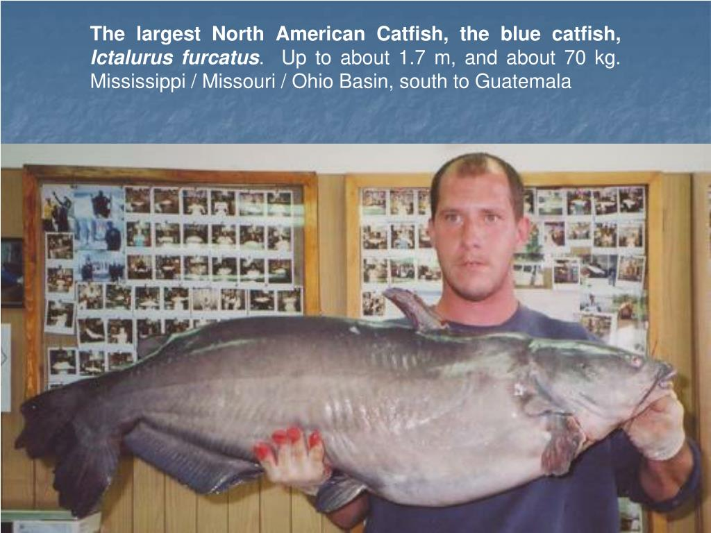 The largest North American Catfish, the blue catfish,
