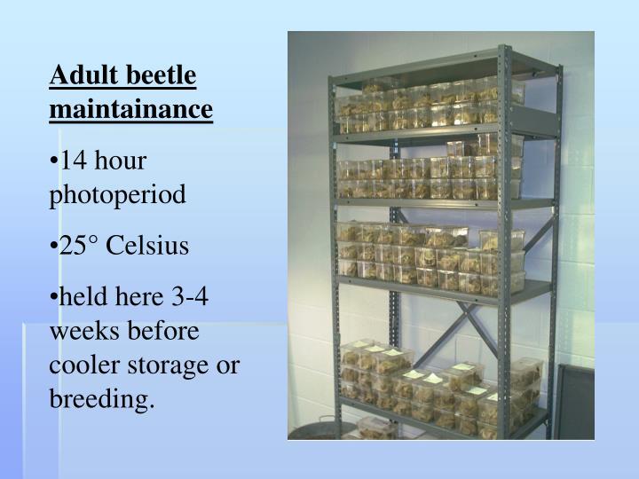 Adult beetle maintainance