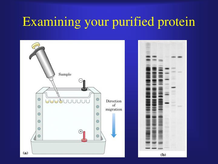 Examining your purified protein