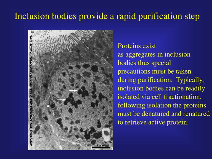 Inclusion bodies provide a rapid purification step