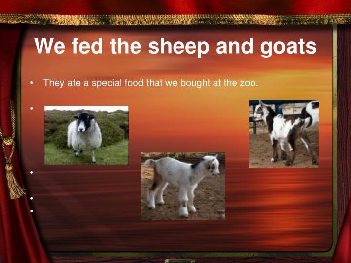 We fed the sheep and goats