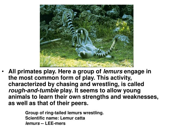 All primates play. Here a group of