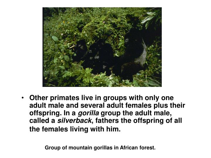 Other primates live in groups with only one adult male and several adult females plus their offspring. In a