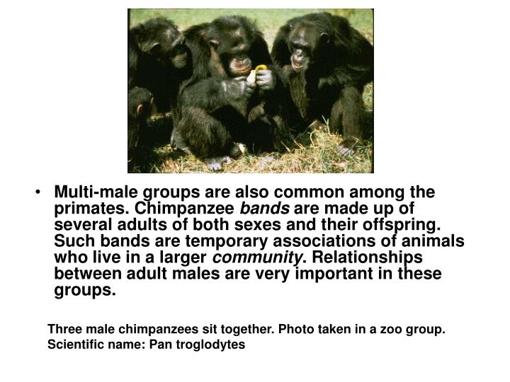 Multi-male groups are also common among the primates. Chimpanzee