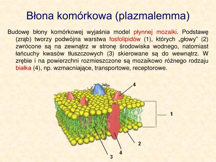 Bona komrkowa (plazmalemma)