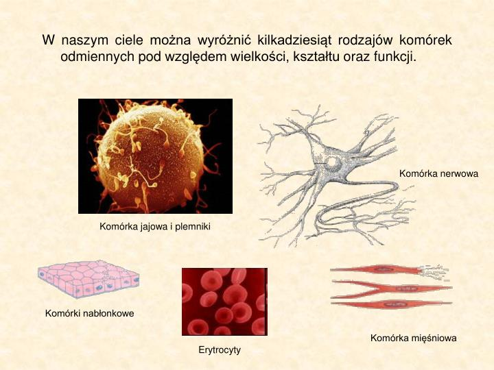W naszym ciele mona wyrni kilkadziesit rodzajw komrek odmiennych pod wzgldem wielkoci, ksztatu oraz funkcji.