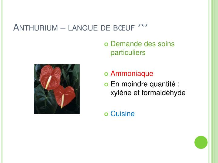 Anthurium – langue de bœuf ***