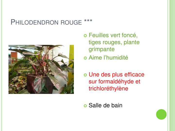 Philodendron rouge ***