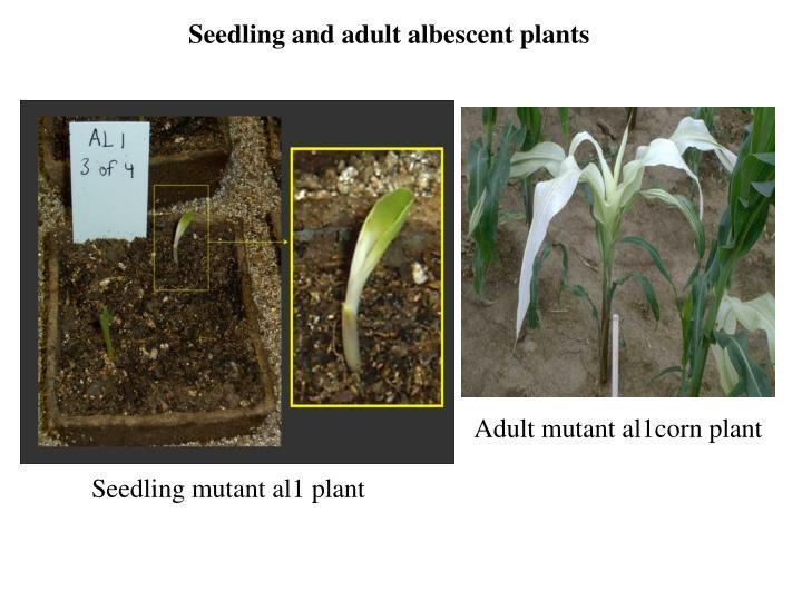 Adult mutant al1corn plant