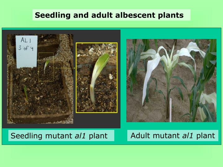 Seedling and adult albescent plants