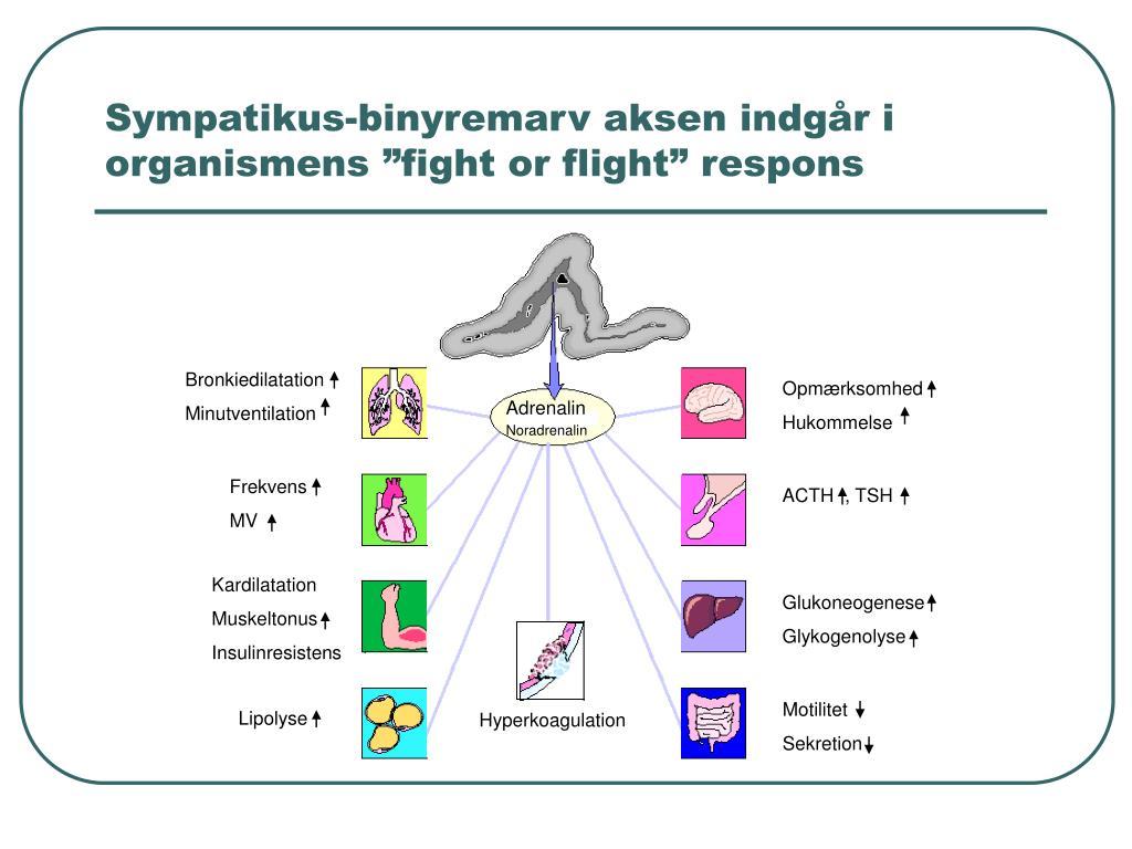 """Sympatikus-binyremarv aksen indgår i organismens """"fight or flight"""" respons"""