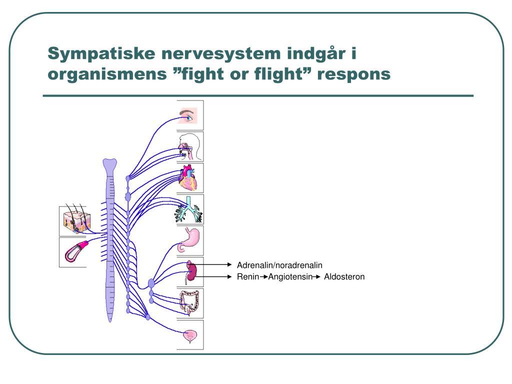 """Sympatiske nervesystem indgår i organismens """"fight or flight"""" respons"""